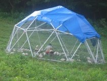 50 Chickens in the Geodesic Chicken Tractor